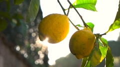 Lemon tree and the rays of the sun Stock Footage