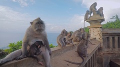 Family of wild monkeys resting together on the banisters with sea and trees Stock Footage