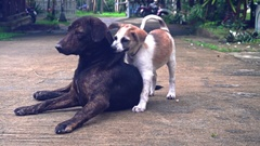 Puppy playing with an adult dog around the house in the summer 2 Stock Footage