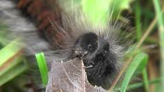 Caterpillar of Macrothylacia rubi Fox moth eats willow leaf. Larva Lepidopteran Stock Footage