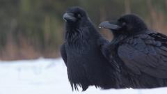 Raven. Couple on the snow. Clicking beak. Courtship. Stock Footage