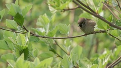 House Sparrow Sitting On A Branch And Fly Away Stock Footage
