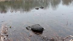 Dead birds in lake Stock Footage