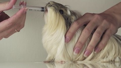 Guinea pig breed Coronet cavy drinking medicine from syringe veterinary care Stock Footage