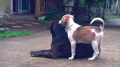 Puppy playing with an adult dog around the house in the summer 3 Stock Footage