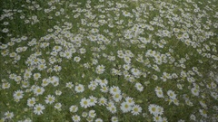 Tall Wild Daisies in Nature - 25FPS PAL Stock Footage