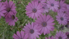 Wild Purple Daisies - 25FPS PAL Stock Footage