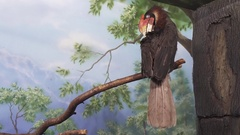 Beautiful Rufous hornbill on tree branch stock footage video Stock Footage