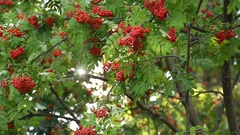 The sun shines through the branches of mountain ash in August Stock Footage