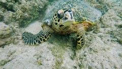 Incredibly beautiful, exotic turtle at the bottom of the sea. Diving near the Stock Footage