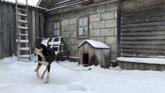 Guard dog on the chain jumping and barking happily in winter Stock Footage