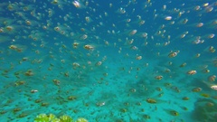 Underwater Glassfish with Blue Water Background Stock Footage