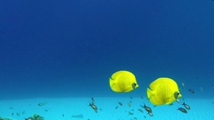 Underwater Colorful Tropical Fish Butterflyfish Stock Footage