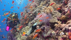 Underwater videographer shoots the Imperial angel fish at the reef Elphinstone. Stock Footage