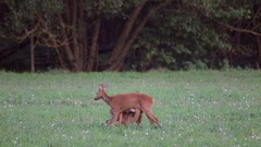 Roe deer. Three young simultaneously suck the udder. Stock Footage