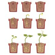 Plant Seed Growth, Development And Rooting Inside The Flower Pot, Classic Botany Stock Illustration