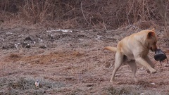 Cute labrador retriever male dog playing with old worn shoe Stock Footage
