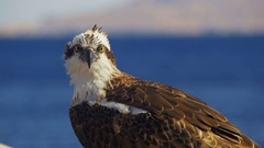 Marine Bird of Prey Osprey Sits on the Background of Red Sea Stock Footage