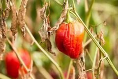 Paprika in the garden outdoors Stock Photos