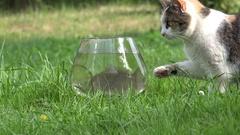 Curious cute cat try to catch crucian fish through aquarium glass. Closeup. 4K Stock Footage