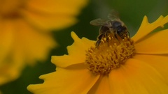 Yellow flowers, bee collects nectar. A bee pollinates a yellow flower. Stock Footage