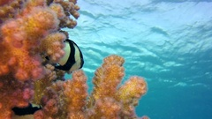 Colorful Tropical Coral Reef with Blue Water Background Stock Footage