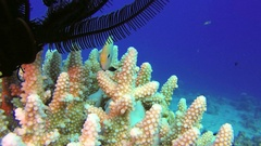 Underwater Colorful Hard Coral and Feather Star Stock Footage