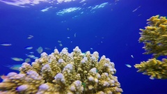 Blue Water Background with Colorful Fishes and A Diver Stock Footage