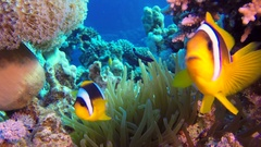 Beautiful Underwater Clownfish and Sea Anemones Stock Footage