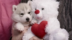 Cute Valentines Day Husky puppy snuggling with teddy bear Stock Footage