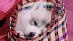 Cute Valentines Day Husky puppy in a basket waking up Stock Footage