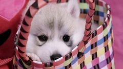 Cute Valentines Day Husky puppy in a basket falling asleep Stock Footage