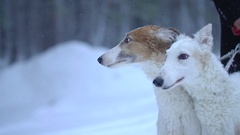 Two dogs Greyhounds winter forest Stock Footage