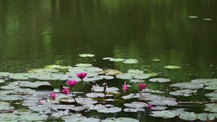 Water Lily flowers floating on water, nature background Stock Footage