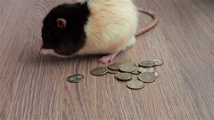 Mister Rat counting the cash. Black and white funny rat sits on coins and wash Stock Footage