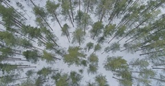 Aerial forward flight faced down over winter pine forest in daylight Stock Footage