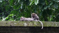 Two cute monkey catch fleas and eat them in the forest tropical Indonesia. Stock Footage