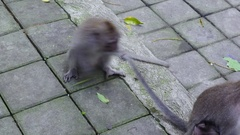 Funny family of monkeys in Indonesia. Stock Footage