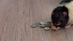Black and white rat eats something sitting on US dollar. Gray background Stock Footage