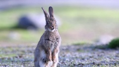 Wild rabbit watching alerted long ears Stock Footage