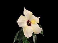 Time-lapse of opening white chinese rose, 4K with ALPHA channel Stock Footage