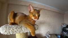 Abyssinian cat portrait Stock Footage