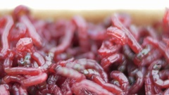 Live red worms move. Bait for winter fishing. close-up Stock Footage