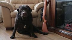 Labrador chocolate color next to the gun Stock Footage
