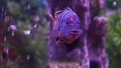With colored cichlid aquarium. Stock Footage