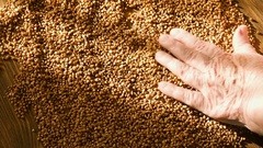 Female hands selecting best buckwheat for cooking, hand touching grain, healthy Stock Footage