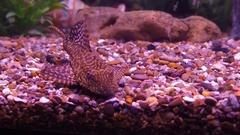 Ancistrus catfish in the aquarium. Stock Footage