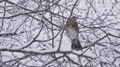Bird a thrush Turdus pilaris in the winter on a snow-covered tree Stock Footage