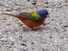 Profile View Male Painted Bunting on Ground Stock Photos
