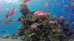 Beautiful Underwater Corals and Tropical Colorful Fishes Stock Footage